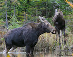 Title: Moose Cow & Calf
