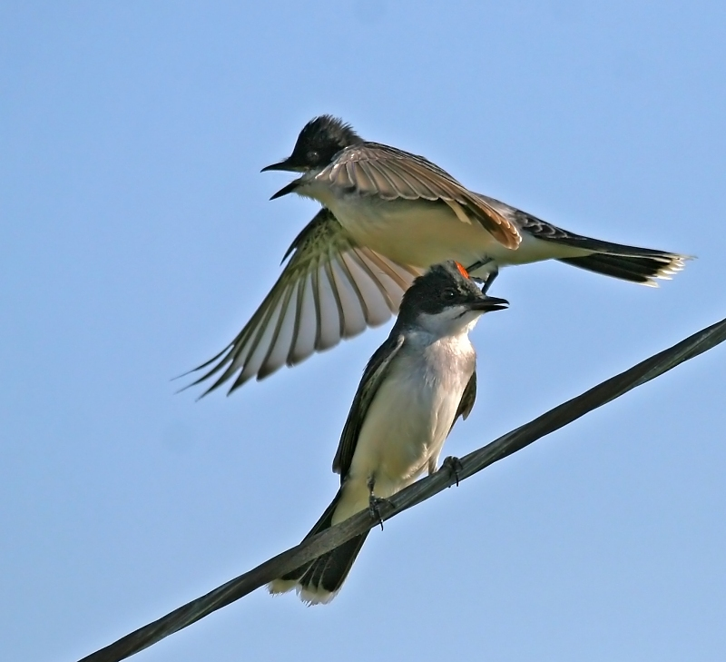 Kingbirds challenge 3