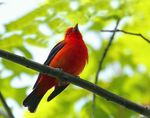 Title: Scarlet Tanager 1 Camera: Canon EOS 30 D
