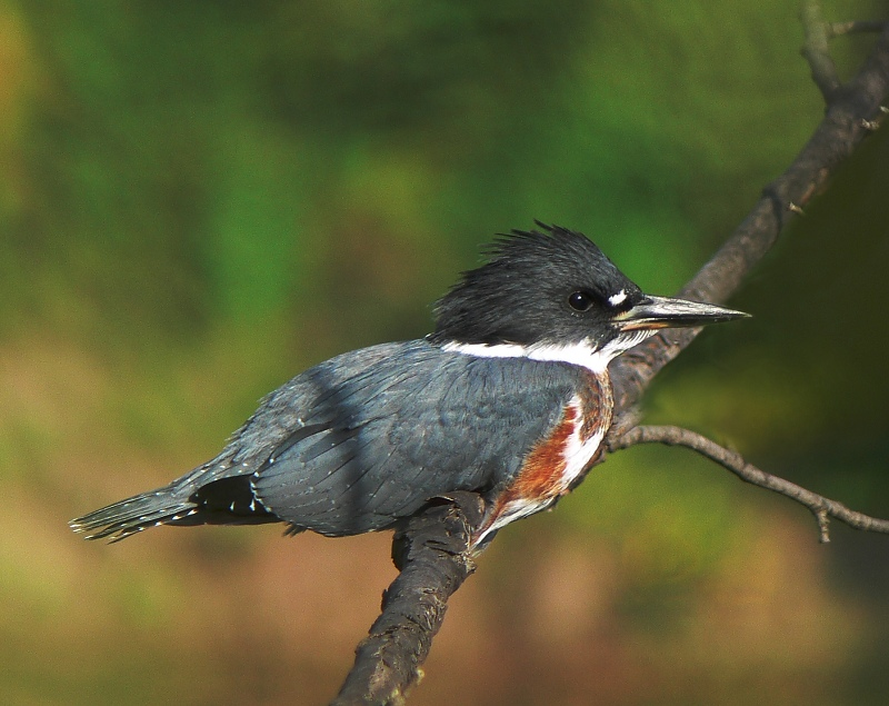 Young Belted Kingfisher 1