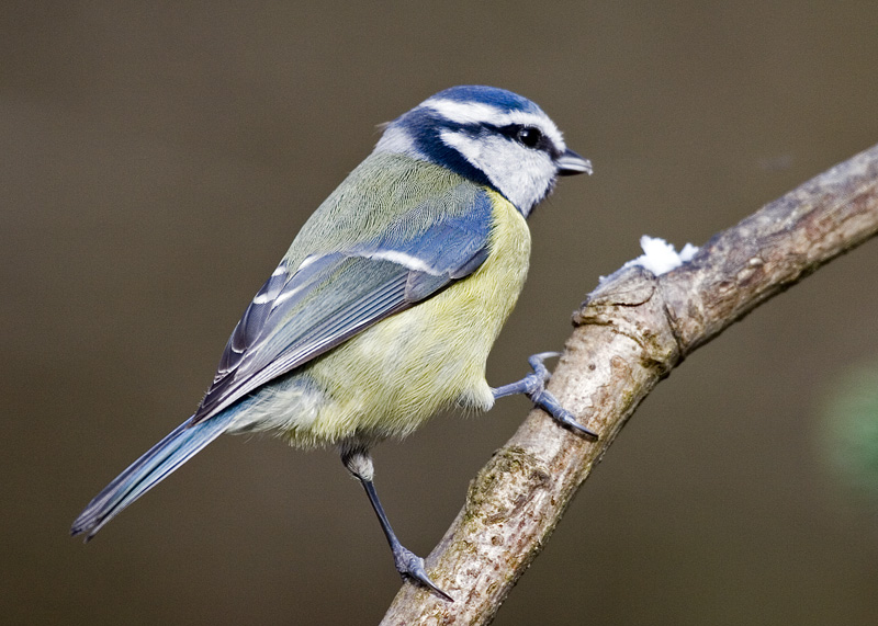 A cheeky Blue Tit