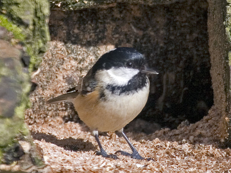 Coal Tit - Out of the shade