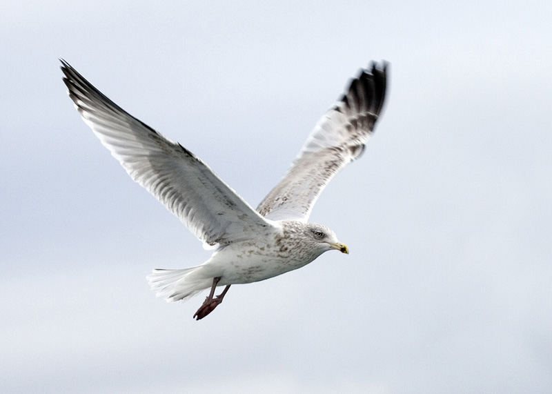 Gull off Isle of Bute