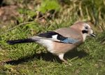 Title: A cheeky Jay