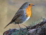 Title: A friendly Robin
