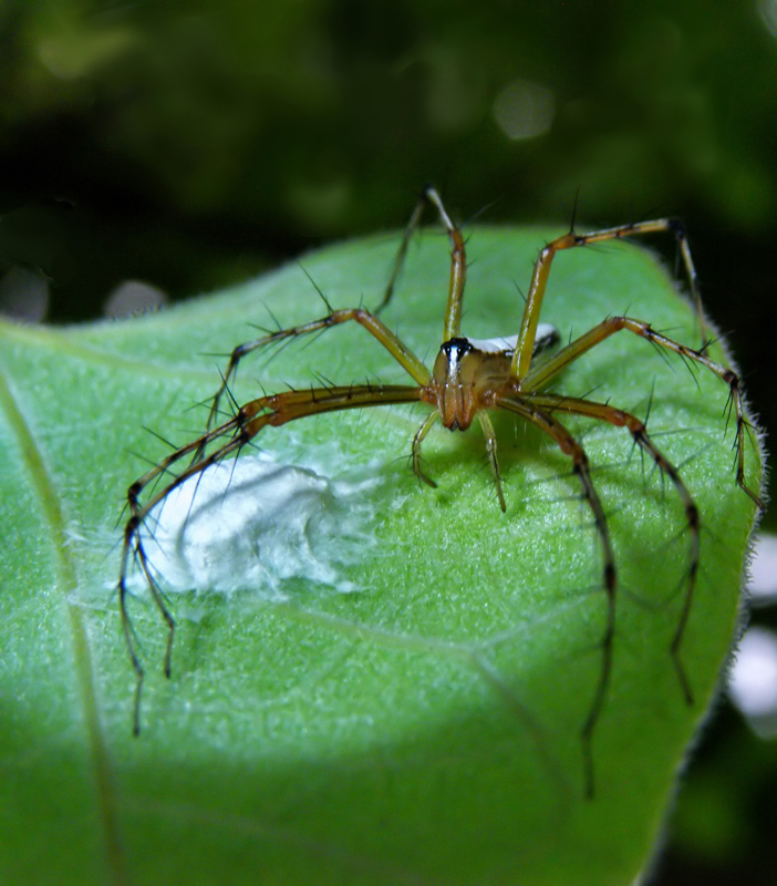 Lynx Spider on the prowl