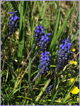 Title: Muscari neglectum