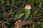 Title: Red Crested Turaco