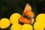 Title: Scarce copper - Lycaena virgaureae