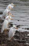 Title: Cattle egrets