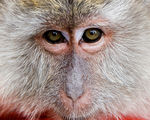 Title: Macaque
