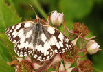 Title: Marbled White at rest