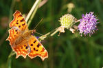 Title: Comma and Scabious