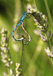 Title: Mating Damsels
