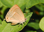 Title: Umbrian Hairstreak