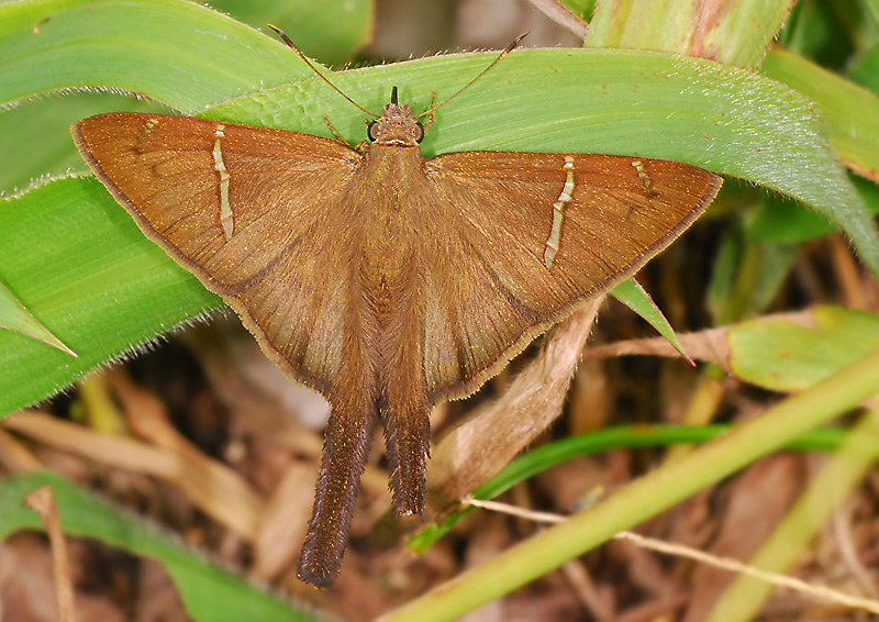 Tailed Skipper