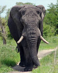 Title: Old Tusker