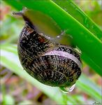 Title: Dripping snail