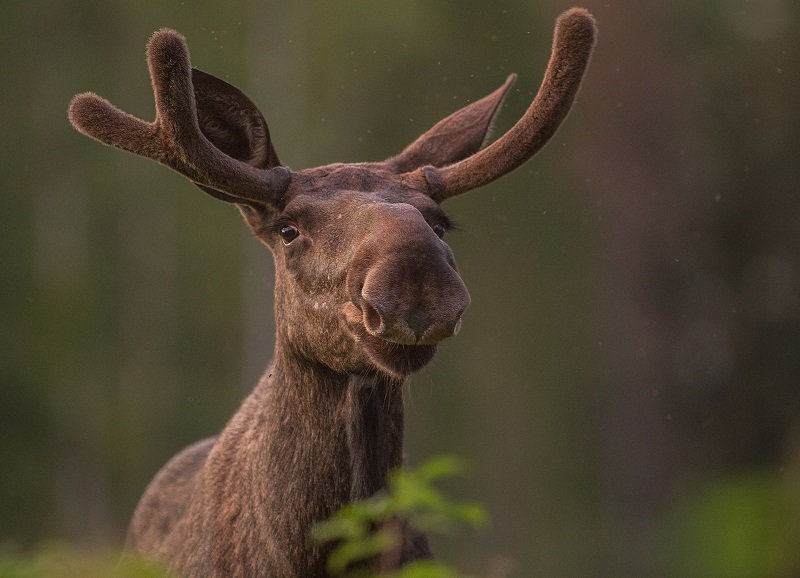 Moose portrait