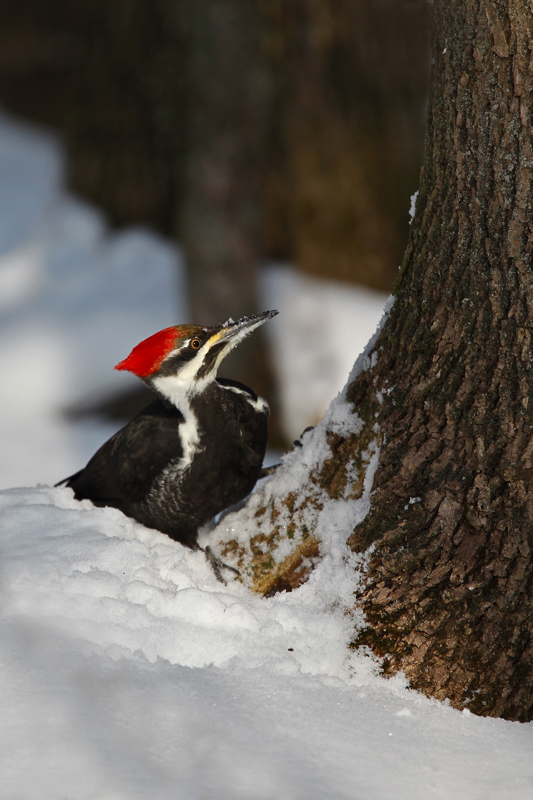 Pilieated Woodpecker  Winter moment