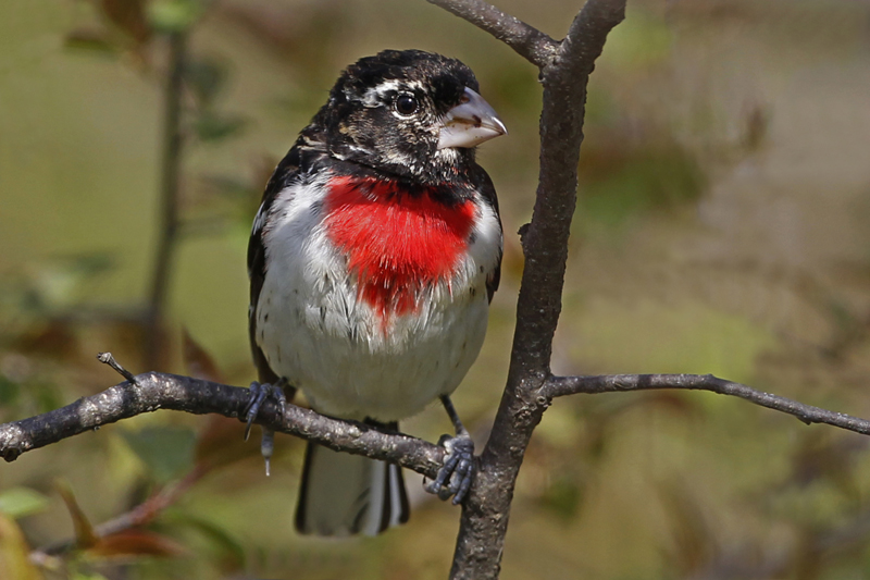 Rose-breasted-Grosbeak