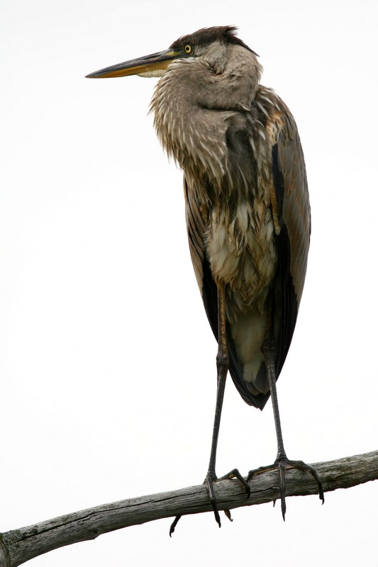 Different look at the Great Blue Heron