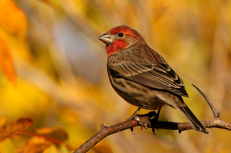 House Finch whit Fall colors