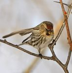 Title: Common Redpoll