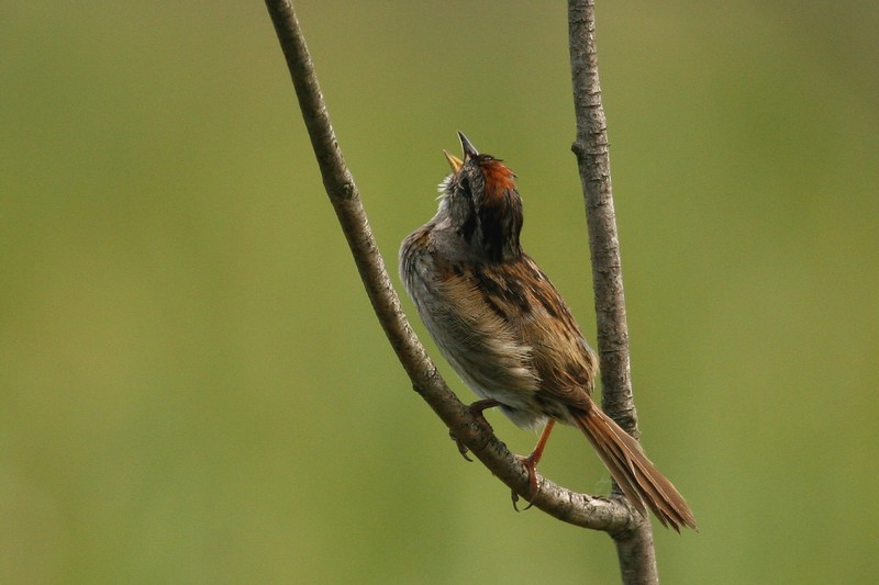 Back view of a Swamp Sparrow