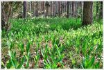 Title: Forest full of lily of the valley