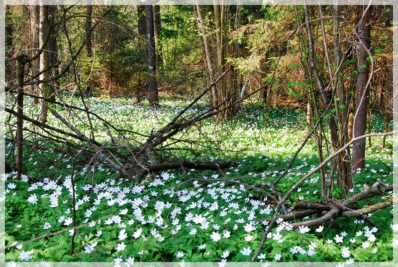 Forest full of anemones