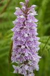 Title: Common Spotted Orchid