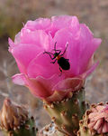 Title: Beetle on a Cactus Rose