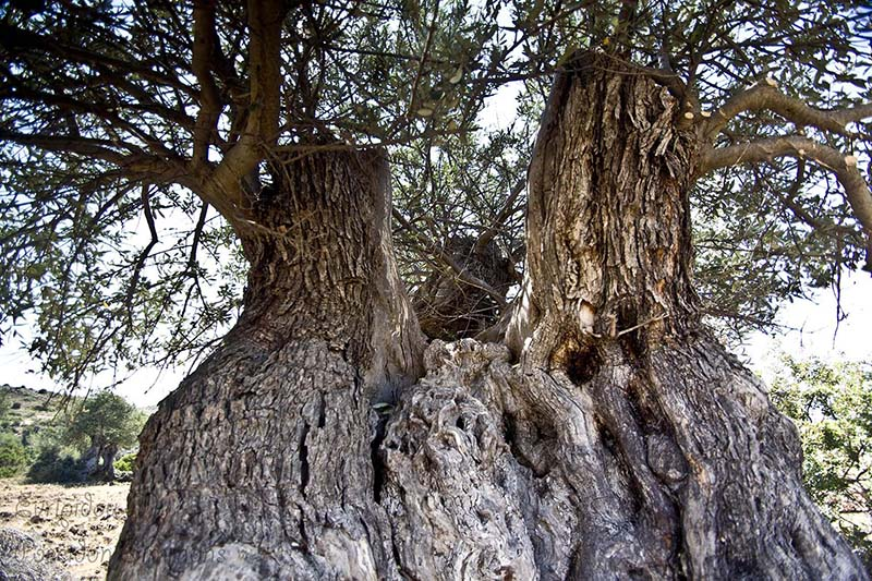 600 year old olive tree at Sotira