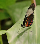 Title: Cydno Longwing