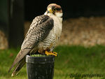 Title: Lanner Not Peregrine