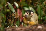 Title: Squirrel Monkey