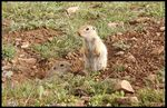 Title: Gelengi-ground squirrel
