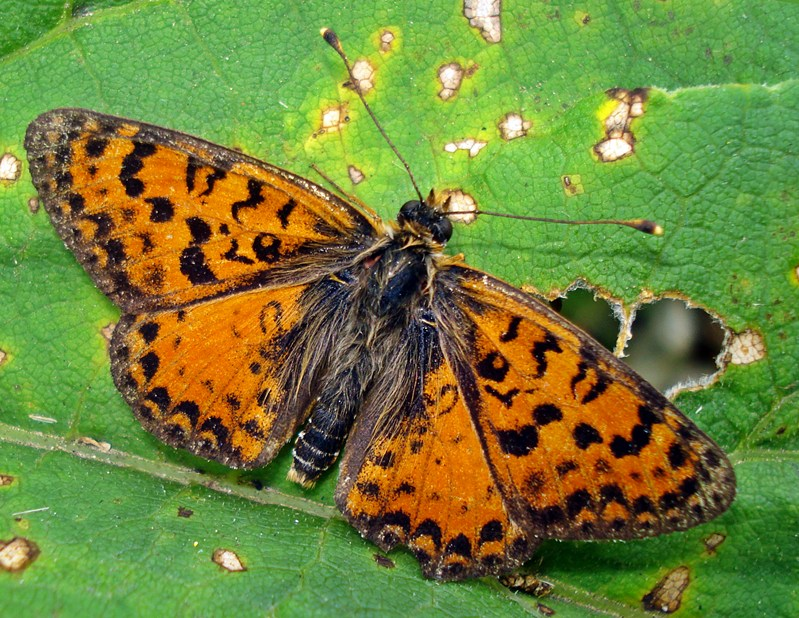 Melitaea interrupta - 1st on TN
