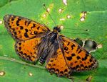 Title: Melitaea interrupta - 1st on TN