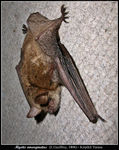 Title: Myotis emarginatus - new species on TN