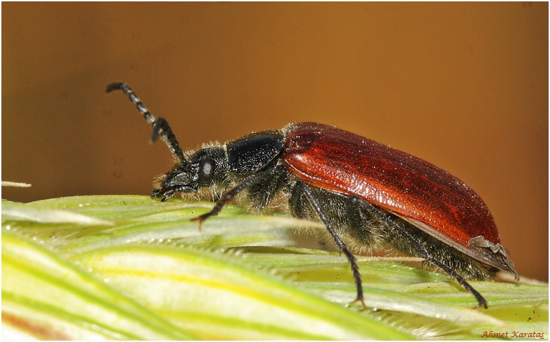 Omophlus lepturoides with thanks to Ivan