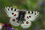 Title: Parnassius  apollo tirabzonus - endemic