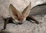 Title: The Long-eared bat (Plecotus teneriffae)