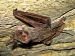 Title: Tadarida teniotis - Free tailed Bat