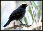 Title: Turdus merula for M.K. Atatur