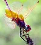 Title: Dragon Fly also