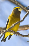 Title: Evening grosbeak