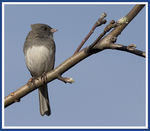 Title: Junco in the wind