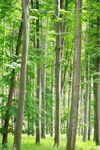 Title: Common beech forest